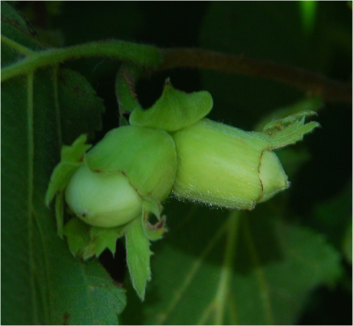 hazelnuts growing on a branch