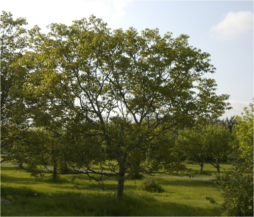 walnut tree at Grinnell's property, May 2007